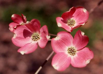 Flowers of Flowering Dogwood