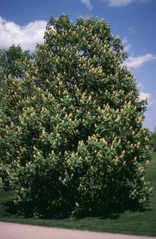 Ohio Buckeye form