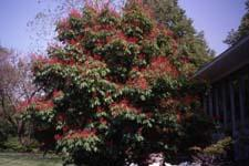 Red Buckeye in flower