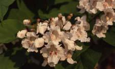 Northern Catalpa flowers