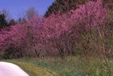 Eastern Redbud in flower