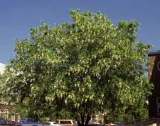 American Yellowwood form