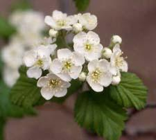 Downy Hawthorn flowers