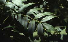 European Ash leaves