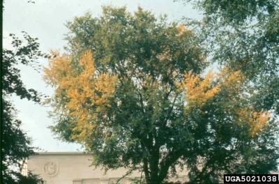 Elm tree infected with elm yellows (www.forestryimages.org).