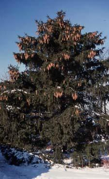 Norway Spruce form