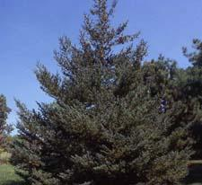 White Spruce form