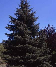 Colorado Spruce form