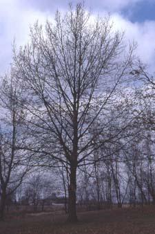 Northern Pin Oak form in winter
