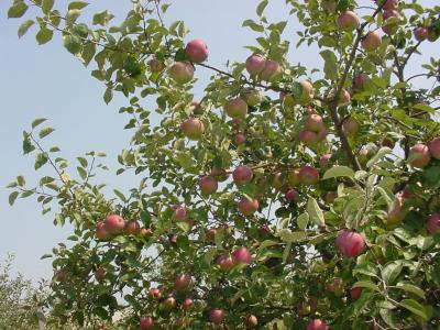 Many mature apple fruits on a tree