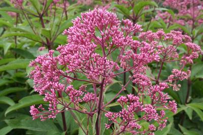 Flowers of Joe Pye Weed