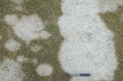 Gray snow mold symptoms.