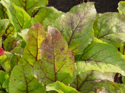 Leaf spot in beets