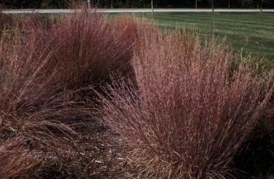 Big Bluestem <em>Andropogon gerardii</em>