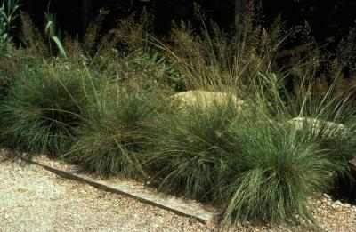 Tufted Hairgrass <em>Deschampsia caespitosa</em>