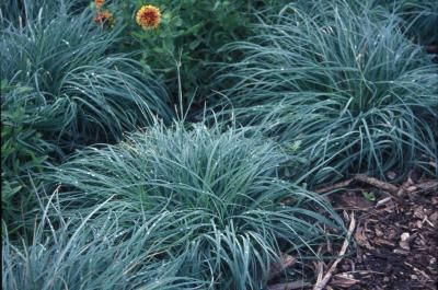 Blue Sedge <em>Carex firma</em>