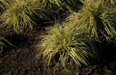 Japanese Sedge <em>Carex morrowii</em>