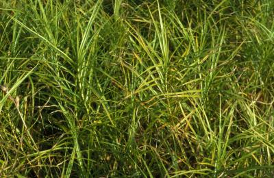 Palm Sedge <em>Carex muskingumensis</em>