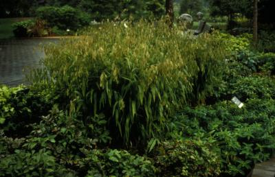 Northern Sea Oats <em>Chasmanthium latifolium</em>