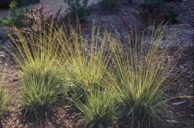 Purple Moor Grass <em>Molina caerulea</em>