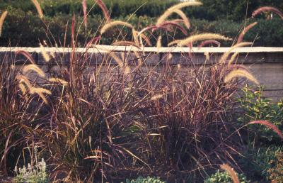 Red Fountain Grass <em>Pennisetum setaceum</em>