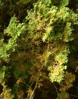 Cercospora blight of arborvitae.