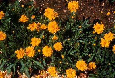 Tickseed Coreopsis 'Early Sunrise'