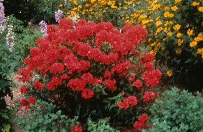 Phlox 'Hardy Red'