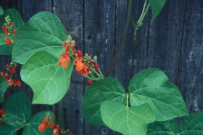 Flowers and leaves of Scarlet Runner Bean