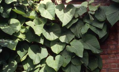 Leaves of Dutchman's Pipe