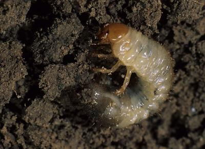 White grub larva