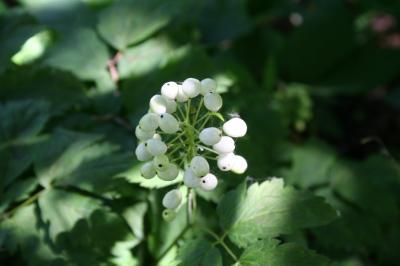 Fruit of White Baneberry