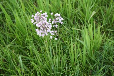 Flowers of Nodding Wild Onion