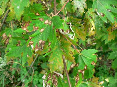 Anthracnose on silver maple.