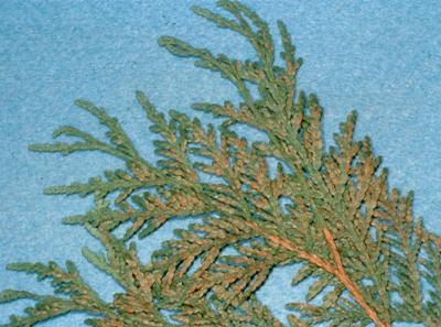 Arborvitae leaf miner damage