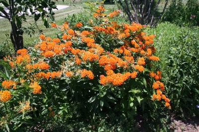 Butterfly weed in flower