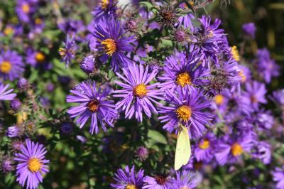 Flowers of New England Aster