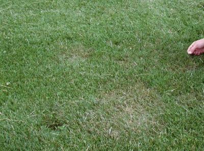 Early symptoms of brown patch on high-cut turfgrass.