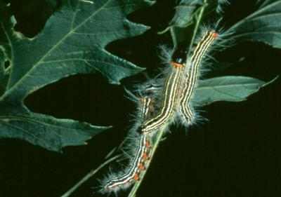 Yellow-necked caterpillars.