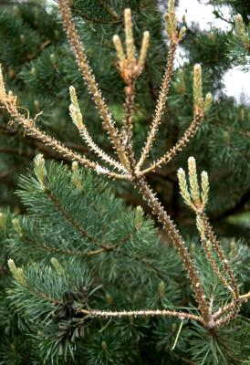 Pine sawfly damage on Austrian pine