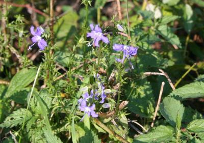 Flowers of Tall Bellflower