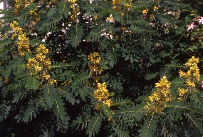 Flowers and leaves of Wild Senna