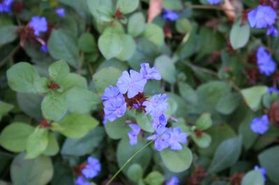 flowers of leadwort