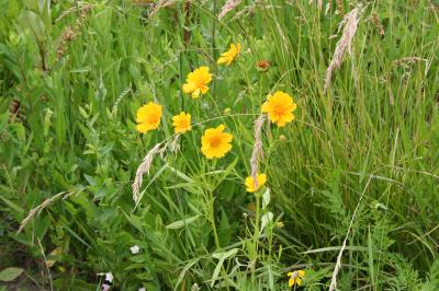 Flowers of Lance Leaved Coreopsis
