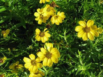 Flowers of Stiff Tickseed