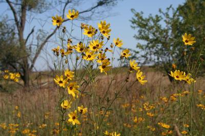 Flowers of Tall Coreopsis