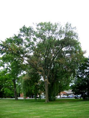 Elm tree dying due to Dutch elm disease.