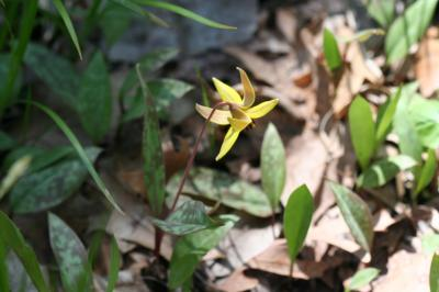 Flower of Trout Lily