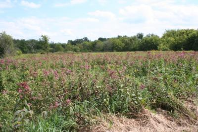 Group of Joe Pye Weed growing in a fen
