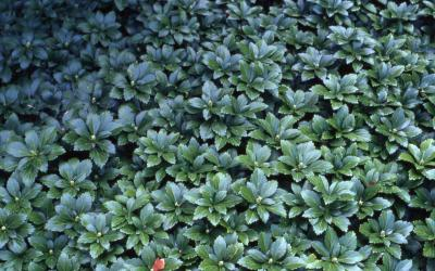 Pachysandra; cultivar 'Green Carpet'